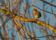 Chaffinch in evening sun Royalty Free Stock Photography