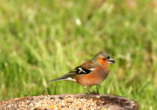 Chaffinch Feeding stock image