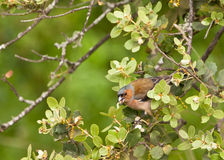 Chaffinch feeding on caterpillar Royalty Free Stock Image