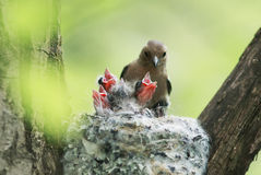 Chaffinch feeds its young mouthed Chicks in the nest Royalty Free Stock Photo