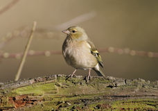 Chaffinch Female Stock Images