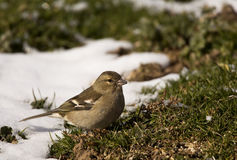 Chaffinch Female. A female chaffinch is looking for food on grass Royalty Free Stock Images