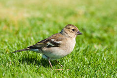 Chaffinch (Female) Royalty Free Stock Images