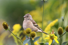 Free Chaffinch Female Portrait Stock Image - 24297481