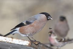 Chaffinch female portrait Stock Photos