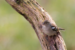 Chaffinch female Stock Photography