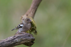 Chaffinch female Royalty Free Stock Photography