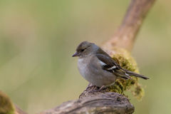 Chaffinch female Stock Image