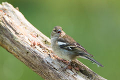 Chaffinch female Royalty Free Stock Photo