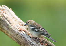 Chaffinch female Stock Photos