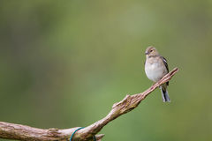 Chaffinch female Royalty Free Stock Photos