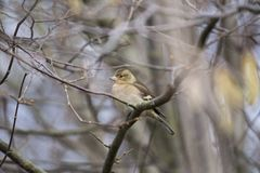 Chaffinch (Female) Stock Image