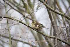 Chaffinch (Female) Stock Photo