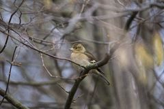 Chaffinch (Female) Royalty Free Stock Photos