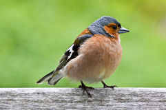 Chaffinch on fence Stock Photography