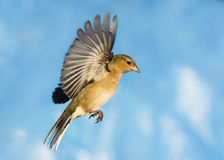 Chaffinch in flight. A female Chaffinch flying with a blue sky background stock image