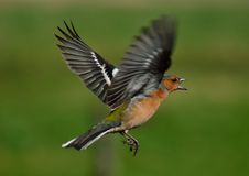 Chaffinch in flight. Male chaffinch in flight with bothe wings spread out stock photo