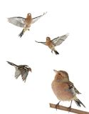 Chaffinch. Flight on a white background royalty free stock image