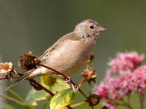 Chaffinch on flowers Stock Photo