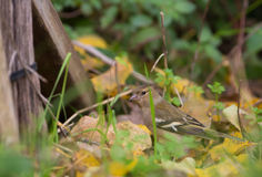 Chaffinch on the forest floor Royalty Free Stock Photos