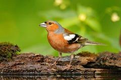Chaffinch, Fringilla coelebs, πορτοκαλιά συνεδρίαση Songbird στο συμπαθητικό κλάδο δέντρων λειχήνων με, λίγο πουλί στο δασικό βιό Στοκ Εικόνα