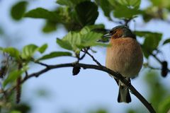 Chaffinch ( Fringilla coelebs ) stock photography