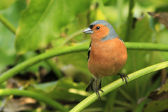 Chaffinch (Fringilla coelebs). A male chaffinch sits on the branch of a castor oil bush stock photos