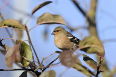 Chaffinch, fringilla coelebs Stock Photos