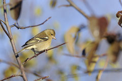 Chaffinch, fringilla coelebs Royalty Free Stock Photography