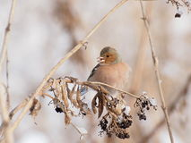Chaffinch, Fringilla coelebs Royalty Free Stock Images