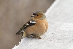 Chaffinch  (Fringilla coelebs) Royalty Free Stock Photo