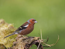 Chaffinch (Fringilla coelebs). Chaffinch sitting on branch of a tree Royalty Free Stock Photos