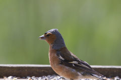 Chaffinch (Fringilla coelebs) Royalty Free Stock Photography