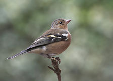 Chaffinch - Fringilla coelebs Royalty Free Stock Images