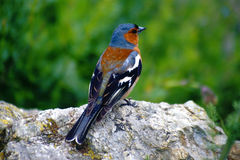 Chaffinch (Fringilla coelebs) Royalty Free Stock Images