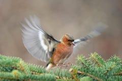 Chaffinch, Fringilla coelebs, bird in flight. Male stock photos
