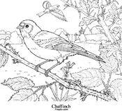 Chaffinch Fringilla coelebs Royalty Free Stock Image