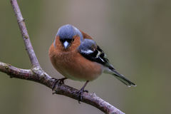 Chaffinch Fringilla coelebs. Common Chaffinch Fringilla coelebs perched on the branch Stock Images