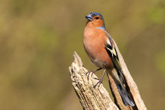 Chaffinch Fringilla coelebs. Common Chaffinch Fringilla coelebs perched on the branch Stock Photo