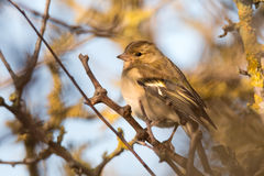 Chaffinch Fringilla coelebs female perching in hedgerow Stock Photography