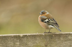 Chaffinch (fringilla coelebs) on fence Stock Photo