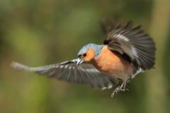 Chaffinch (Fringilla coelebs) in Flight Royalty Free Stock Photo