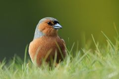 Chaffinch (Fringilla coelebs) in the Grass Stock Photo