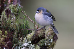 Chaffinch, Fringilla coelebs maderensis Stock Photos