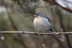 Chaffinch, Fringilla coelebs maderensis Stock Photography