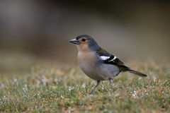 Chaffinch, Fringilla coelebs maderensis Royalty Free Stock Photography