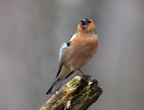 Chaffinch (Fringilla coelebs), male Royalty Free Stock Photography
