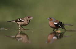 Chaffinch, Fringilla coelebs, Royalty Free Stock Photo