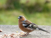 Chaffinch (Fringilla Coelebs). Male chaffinch with spring plumage Stock Image
