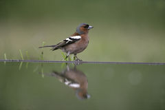 Chaffinch, Fringilla coelebs, Stock Photography